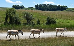 Onager Trio (tim.perdue) Tags: wilds nature preserve conservation center cumberland ohio zoo animal persian onager trio three road mammal equine equus hemionus