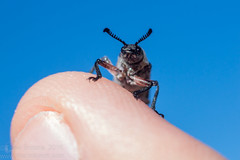 Female Feather-horned Beetle (Teale Britstra) Tags: canon 55250mm nature wildlife wild native animals animal australia australian centralqueensland queensland boynedale boynedalebushcamp bushcamp bush camp boynevalley rhipicerafemorata rhipicera femorata beetle coleoptera featherhornedbeetle feather horned antenna antennae macro extensiontubes macrophotography photography insect