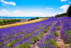 () Tags: olympus omd em1 m43 micro43 microfourthirds olympusem1 panasonic lumix g vario 714mmf40 asph pana 714   japan lavender