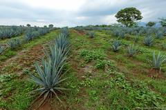 08. Nayarit Estado-9.jpg (gaillard.galopere) Tags: travel blue azul mexico tequila bleu explore alcool alcohol mexique agave 2016 visitmexico gaillardgalopere