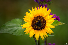 Sunflower (Helianthus annuus) (BraCom (Bram)) Tags: bracom sunflower zonnebloem commonsunflower helianthusannuus bloem flower petals bloemblaadjes yellow green geel groen brown bruin pink dof depthoffield closeup akkerrand border molagrocom herkingen zuidholland goereeoverflakkee nederland southholland holland canoneos5dmkiii canon canonef300mmf40 bramvanbroekhoven nl