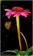 Cool Water III (lukiassaikul) Tags: creativephotography photopainting digitalpainting nature flora flowers hdr gardenplants gardenflowers red