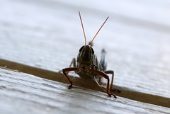 Grasshopper (Heather Burditt) Tags: grasshopper largegrasshopper greengrasshopper insect vermont monkton bugs wideangle