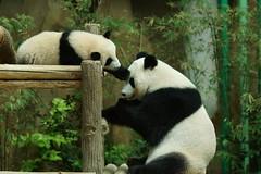 10-month-old (almost) Nuan Nuan and mother Feng Yi aka Liang Liang 2016-06-17 (kuromimi64) Tags: zoonegara malaysia マレーシア 動物園 zoo nationalzoo zoonegaramalaysia kualalumpur クアラルンプール bear クマ 熊 panda giantpanda パンダ ジャイアントパンダ 熊猫 大熊猫 fengyi 鳳儀 liangliang nuannuan 暖暖