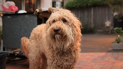 Maisy is Looking Sad (matt_axisa) Tags: maisy dog sad depressed portrait emotion fur appeture blur bokeh canon canoneos canoneos600d canon600d eos eos600d 600d sigma sigmaf28 f28 photography art artistic 1750mm outdoors outside cut eyes outdoor