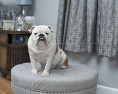 Tank's new dog bed (dog ma) Tags: tank tanksnewdogbed englishbulldog dog ma nikon d700 nikkor 50mm indoors ottoman dogbed