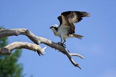 Osprey and fish (Adam Wang) Tags: bird osprey raptor fish branch nature wildlife mudgeisland