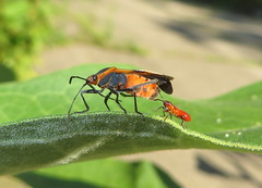 Milkweed Bug and Milkweed Bug Nymph IMG_7264 (Ted_Roger_Karson) Tags: canonpowershotsx280hs milkweedbug handheldcamera northernillinois milkweed bug hand held camera super macro northern illinois hd lens fuji eyes macrolife animal insect outdoor plant foliage