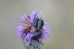 Tro de cetnidos (esta_ahi) Tags: santmag cetoniinae scarabaeidae coleoptera insectos fauna santmagdebrufaganya santmagdelabrufaganya pontils concadebarber tarragona spain espaa