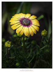 Mother Expecting (Dave Whiteman - AU) Tags: africandaisy blueeyeddaisy flower osteospermum