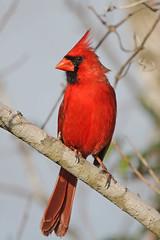 Northern Cardinal (Alan Gutsell) Tags: birds alan nature wildlife bird birdinghotspots texas houston park