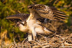 Warning call (ashergrey) Tags: utah flaming gorge national recreation area lake reservoir osprey bird hawk falcon nest juvenile