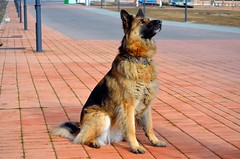EL AMIGO DEL HOMBRE..... (Alberto Fer.) Tags: perro dog can amigo del hombre color animal animales pasto aleman nikon 5100 airelibre naturaleza