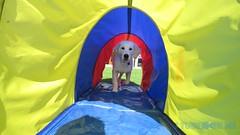 Scooby i tunnlen (J Tube-Films) Tags: scooby st leksak valp valpar hundvalp retriver golden tunnel hundleksak leker dog puppy