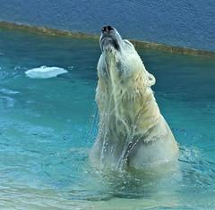 Imagine... (Slow Turning) Tags: ursusmaritimus polarbear swimming water dripping emerge splash zoo captive summer southernontario