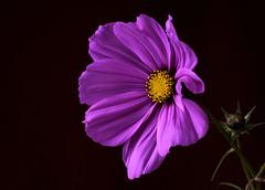 Another Cosmos (johnroberts676) Tags: closeup cosmos macro d800 nikon flower flora