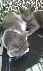 (sftrajan) Tags: kittens cats kitties adoption felines thecastro 18thstreet hiberniabeach castrostreet sanfrancisco