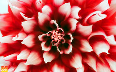 Dahlia-19 (Nualchemist) Tags: flower plant nature simplyflowers petals pink bloom green greenleaves floralphotography dahlia yellow red summer fullbloom botanical bright light floral heavenly macro orange 2016dahiashow colorful white closeup delightful glorious magical soft goldengatepark pretty palepink lightpink enchanting sanfrancisco singleflower cheerful joyful delight california colors palette botanicalgarden organicpattern purple lavender designbynature geometric elementsofdesign silky velvet softlight veil tender flame fire