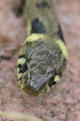 Grass snake , Natrix natrix (8)_filtered (Geckoo76) Tags: grasssnake snake natrixnatrix