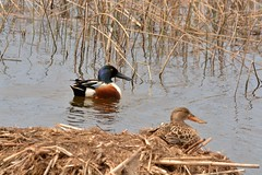Northern Shoveler pair (littchick) Tags: spring nikon colorfull pair ducks swamp mating nesting d7100