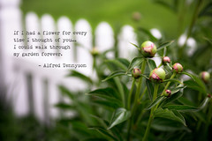 Thinking of You (Singing Like Cicadas) Tags: flowers nature garden outdoors spring quote text westvirginia appalachia peonies tennyson 2015 rockcave upshurcounty onethousandgifts
