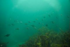 20150530-DSC_0430.jpg (d3_plus) Tags: sea sky fish nature japan scenery underwater snorkeling   shizuoka    izu  manaduru kotogahama   skindiving minamiizu      nikon1  hirizo  nakagi nikon1j1  1nikkorvr1030mmf3556pdzoom