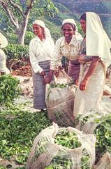 --- Le th du  Sri Lanka Tea    --  99 (geolis06) Tags: portrait asia tea asie srilanka th tamoul ceylan teapickers srilankatea tamouls geolis06 srilankath portraitdusrilanka