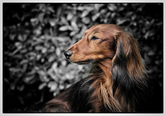 IMG_6453a - Gonzo (Arne J Dahl) Tags: dog animal canon dof bokeh depthoffield hund frame canonef400mmf56lusm gravhund langhret canon5dmarkll dachsdog elementsorganizer11