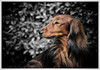 IMG_6453a - Gonzo (Arne J Dahl) Tags: dog animal canon dof bokeh depthoffield hund frame canonef400mmf56lusm gravhund langhåret canon5dmarkll dachsdog elementsorganizer11