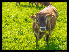 THE MARVELS OF SPRING (EnzoLopardoPictures) Tags: portrait nature countryside kuh cow weide natur wiese pasture calf grassland frhling kalb winterthur april15 enzolopardo olympusomdem1