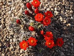 Echinocereus triglochidiatus Engelm. 1848 (Morgentor / Morning Gate) Tags: red cactus garden cult bloom echinocereus claretcup kingcup triglochidiatus