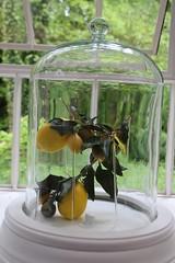 Laverstoke Mill (richardr) Tags: uk greatbritain england english mill glass botanical lemon europe european unitedkingdom britain hampshire british botany distillery europeanunion cloche laverstokemill bombaysapphiredistillery