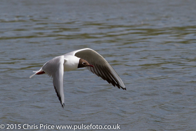 BlackHeaded Gulls at Arundel WWT