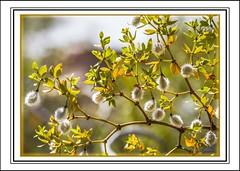 Creosote Bush - Tucson, AZ (Sugardxn) Tags: arizona plant southwest photoshop canon bush desert tucson az creosote larreatridentata tohonochul creosotebush picswithframes canoneos7d canon7d sugardxn garypentin