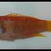 Grammatonotus sp