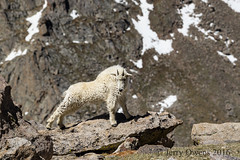 8187 (JerrysPhotographs) Tags: mountains mammal colorado wildlife goat places mammals mountaingoat mtevans