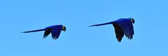 Double Bubble (Explore) (Spectacle Photography) Tags: brazil bird southamerica brasil explore birdsinflight macaw matogrosso pantanal wetland hyacinthmacaw anodorhynchushyacinthinus explored parquenacionaldopantanalmatogrossense