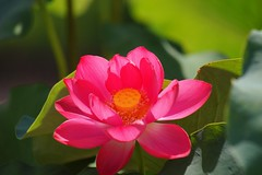 はす (蓮) /Nelumbo nucifera (nobuflickr) Tags: flower nature japan kyoto 日本 花 蓮 はす nelumbonucifera thekyotobotanicalgarden 京都府立植物園 awesomeblossoms ハス科ハス属 sacredwaterlotus 20160720dsc04667