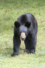 Black Bear (Joan Tanner) Tags: wildlife nature mammal blackbear ursusamericanus americanblackbear