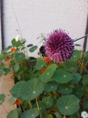 Bee on alium flower with red nasturtiums and daisies in background (eltpics) Tags: eltpics bee flower alium daisies background