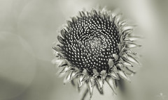 hypnotique (rockinmonique) Tags: blackandwhite bw flower macro monochrome canon mono blossom bokeh petal bloom tamron moniquew hmbt monochromebokehthursday