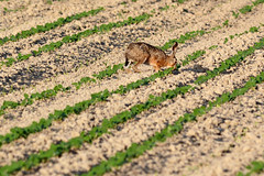 Lepre in campo () Tags: brown hare europea jackrabbit comune europaeus lepus