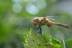 Dragonfly (Alexey Mikheykin) Tags: red dragonfly summer insect closeup macro nikon kit nature outdoor depthoffield eyecontact leaf
