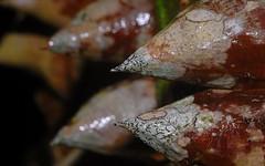 Ceiba speciosa (dustaway) Tags: lichen malvaceae ceibaspeciosa ascomycota lismore nsw australia prickles