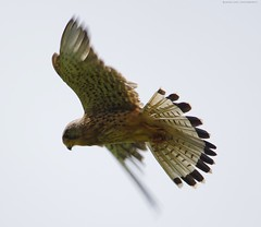 kestrel  (2) (Simon Dell Photography) Tags: kestrel kestral flight bird prey bif bpp sheffield shirebrook valley local nature reserve hackenthorpe woodhouse field medow wildlife animals birds simon dell photography 2016 july summer close up detail awsome cute stunning