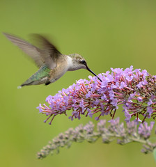 Hummingbird of the Morning (lady_with_thread) Tags: morning flowers nature butterfly bush nikon hummingbird 70300vr d5100