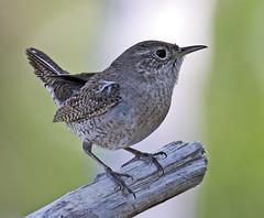 _Q8A3914PrelimHWSmall (birdbug3) Tags: troglodytes aedon