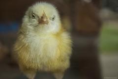 The Monday after vacation face.... (Joe Hengel) Tags: strasburg pennsylvania farm cherrycrestfarm chick chicken nursery monday mondayface aftervacation