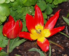 2016_03_0626 (petermit2) Tags: tulipaducvantol tulip tulipa ducvantol bolsovercastle bolsover castle heritage garden venusgarden heritagegarden derbyshire englishheritage heritagetulip