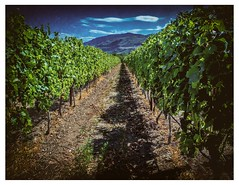 Alley of the Vines (evanffitzer) Tags: britishcolumbia okanagan oliver wine winery vineyard leaves green agriclture vines alley canoneos60d nik polaroid grapes evanfitzer outdoors outside sky